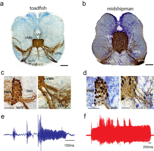 Figure legend: Anatomical and physiological comparision of gulf toadfish and midshipman fish vocal pattern generators reveals a similar neuronal organization that leads to different call types