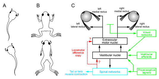 Gaze stabilization during Xenopus locomotion