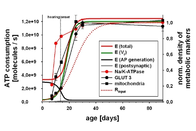 Development of ATP consumption and metabolic marker levels in neurones of the medial superior olive (Mongolian gerbil)